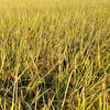 Capturing the Golden Light on the Rice.