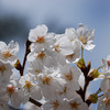 A Bunch of Sakura.<br /> At Nanzenji (a Buddhist Temple) in Keage, Kyoto.