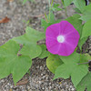 Asagao (Morning Glory) on the ground.