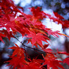 Maple Leaves in Arashiyama.<br /> Note Film Shot: Nikon F80 + Nikkor 35 f/2 + Fujichrome Velvia 50