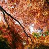 Autumn Canopy.<br /> Note: Film Shot, Nikon F80 + 24f/2.8mm + Fujicolor Reala ACE 100.