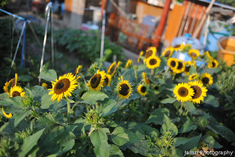 Sunflowers in the Vege Patch.