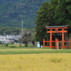 Rice Field, Torii and Mountains.<br /> Towards Tsuno Shrine, in Omi-Imazu, Shiga-ken, Japan.