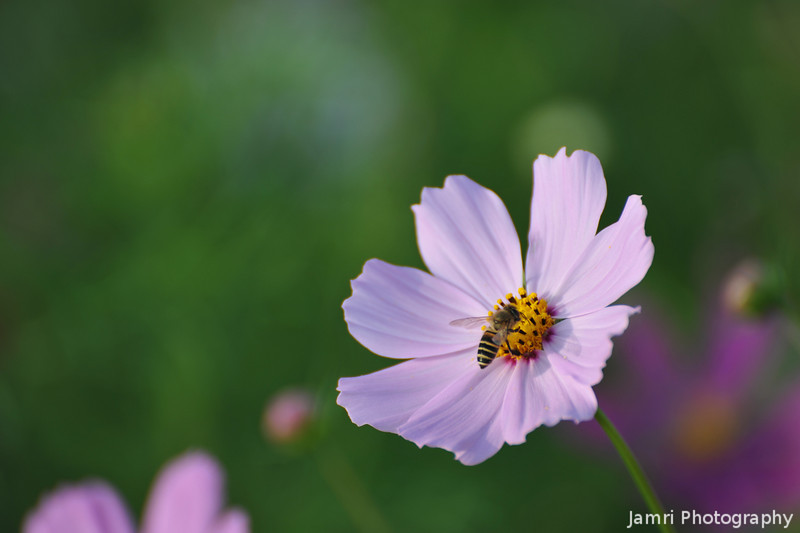 Bee on a Cosmos.