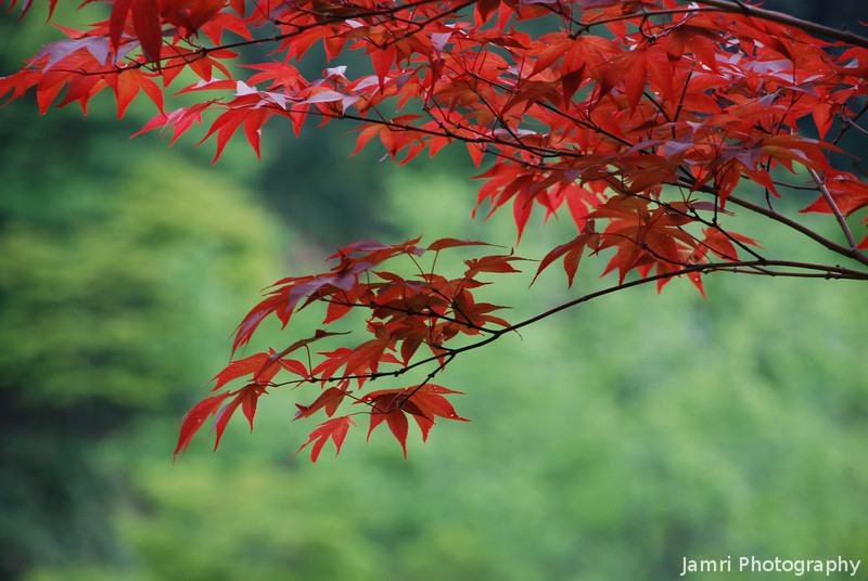 Red Leaves in Spring.<br /> This seems to be a special type of maple which the new leaves are red also.