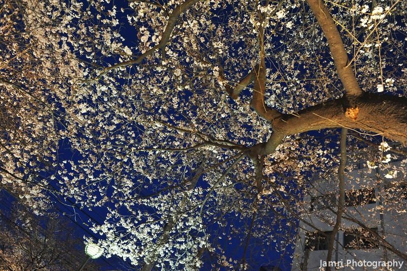 Sakura in the city.