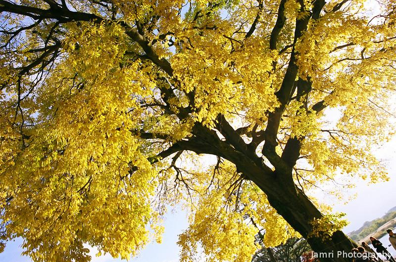 Under a Yellow Leafed Tree.<br /> Note: Film Shot, Nikon F80 + 24f/2.8mm + Fujicolor Reala ACE 100.