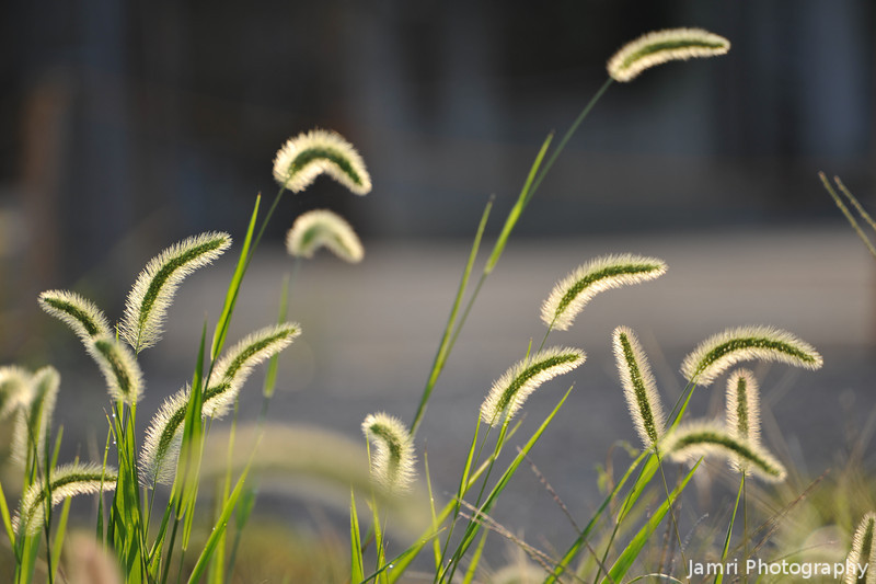 Nekojelashi (Cat Teaser Plant) catching some morning sun.