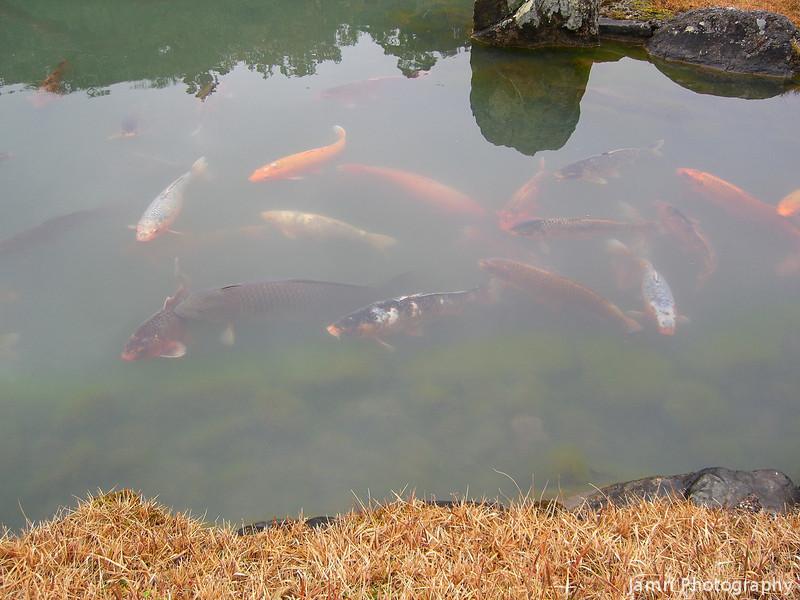 Koi Carp.<br /> At Tenryu-ji (a Zen Buddhist Temple) in Arashiyama, Kyoto.
