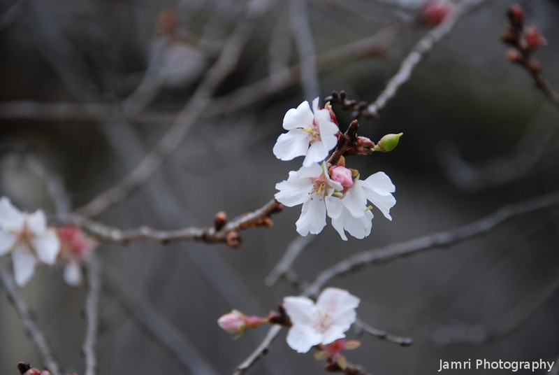 Winter Bloom.<br /> Some flowers from a special kind of Sakura (Cherry Blossom) which blooms in winter and spring.