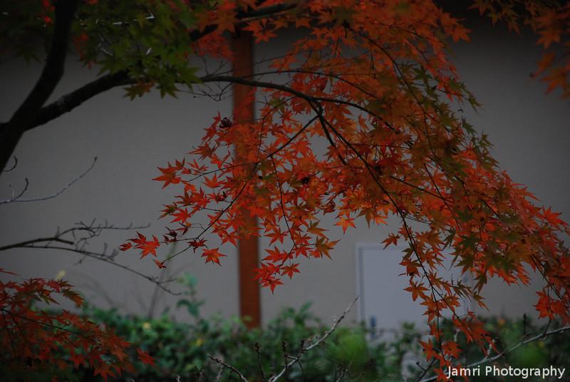 Momiji (Mapple) in front of a wall.<br /> At Kiyomizu-dera (Kiyomizu temple), Higashiyama, Kyoto.