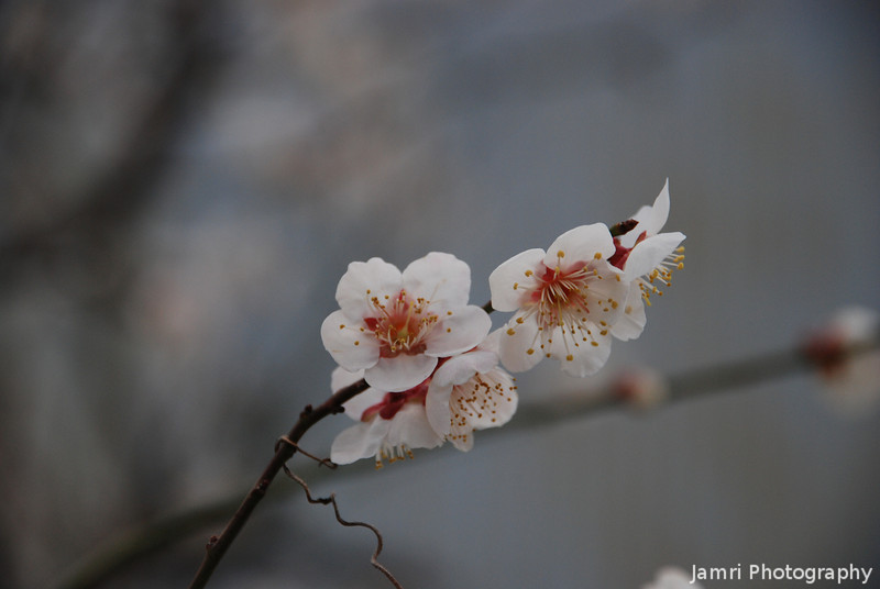 A closer look at the Ume (plum) Flowers.