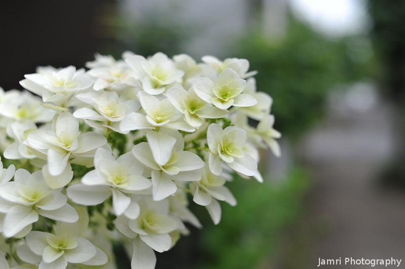 Long White Hydrangea.