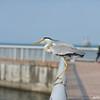 Bird on the Pier.