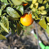 Mikan.<br /> Ah winter in Japan, a time for sitting around the Kotatsu and eating Mikans (mandarins).