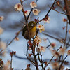 Bird in a Plum Tree 1.<br /> I'm glad I brought the 70-300VR lens on this outing, it's the only lens in my kit that's auto-focus motor can keep up with these little birds.