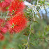 Bottle Brush Up Close<br /> At the Kyoto Botanical Gardens.