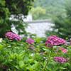 A Row of Hydrangeas,