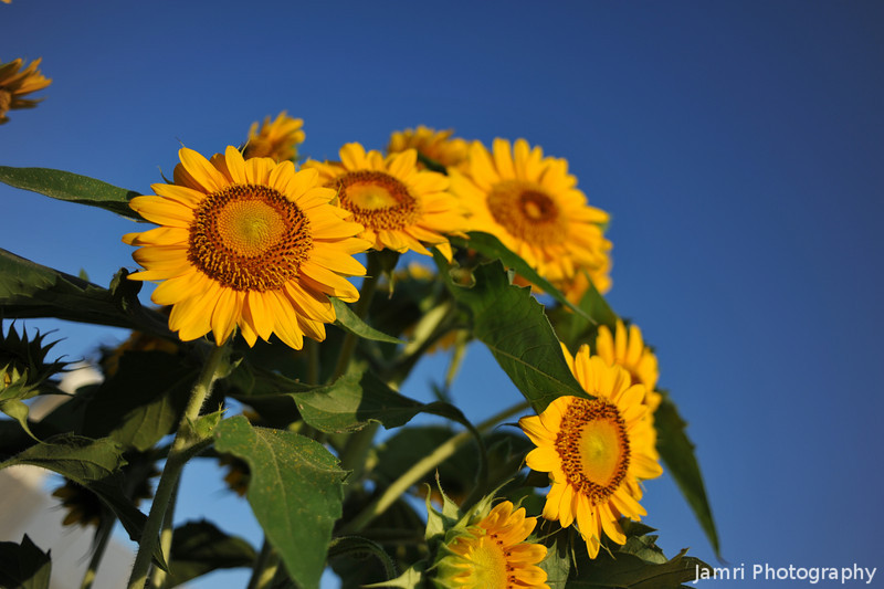 Triangle of Sunflowers.