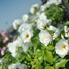 White Roses.<br /> At Itami Airport.