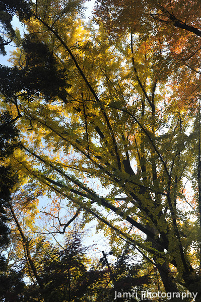"""Towards the Ginkgo.<br /> Known in Japanese as """"Ichou""""."""