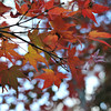 Turning Red.<br /> Maple Leaves at Kiyomizu Temple.