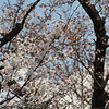 Lots of Sakura.<br /> Are starting to come out on the tree across the road.
