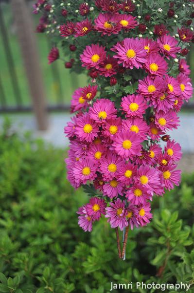 Hanging Chrysanthemums.