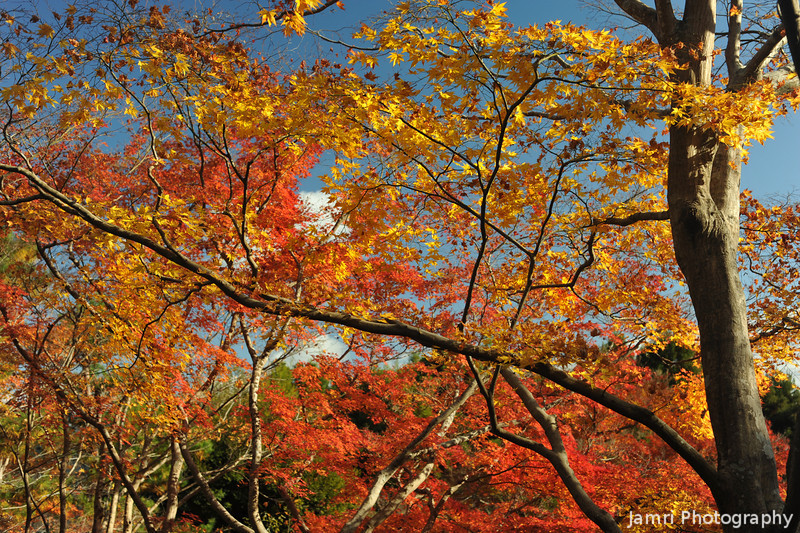 Autumn Foliage in Okochi Sanso.<br /> The maples in Okochi Sanso seem to be slightly different from the others around Arashiyama.