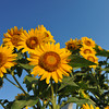Looking Up.<br /> Getting below the sunflowers in an effort to get only a blue sky in the background.