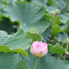Lotus Starting to Open.<br /> At Nagaoka Tenmangu Shrine Park, In Nagaokakyo, Japan.