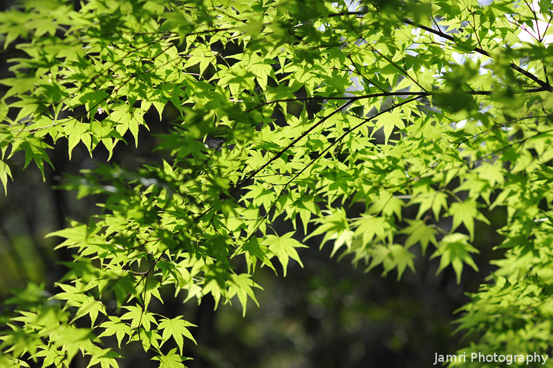 The fresh maple leaves of Spring.