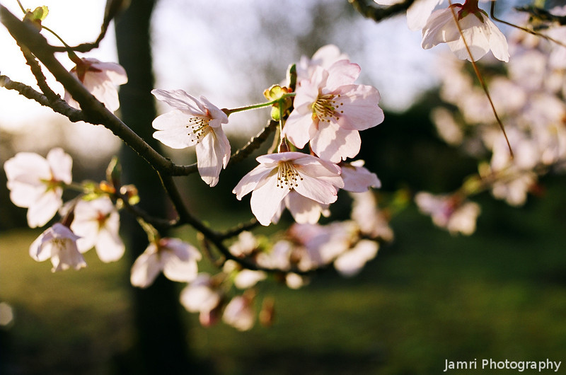 Catching the Morning Sun.<br /> Delicate Blossoms of Sakura.<br /> Note Film Shot: Nikon F80 + Nikkor 35 f/2 + Fujicolor Reala ACE 100