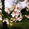 Catching the Morning Sun.<br /> Delicate Blossoms of Sakura.<br /> Note Film Shot: Nikon F80 + Nikkor 35 f/2 + Fujicolor Reala ACE 100
