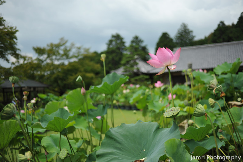A Lotus in front of the Temple.<br /> Mimuroto-ji (a Buddhist Temple) near Uji, Kyoto.
