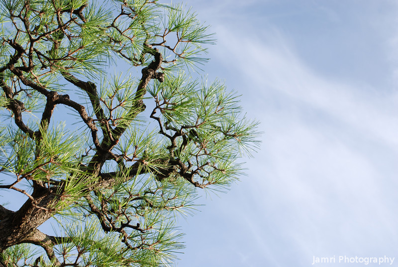 Japanese Pine.<br /> Another shot from below looking up.