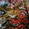 Sun through the maple trees.