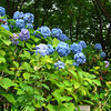 Hydrangeas.<br /> A summer flower in Japan during the wetter (and thus darker) part of the summer (June-July) and thus difficult to get good conditions to photo them in.