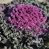 Purple Ornamental Cabbage.