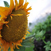 The Sunflower Season is almost here.<br /> That means the summer rainy season is almost over, yippie! Now, for the most enjoyable part of the summer.
