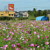 Cosmos Field with Den Yakiniku in the Background.