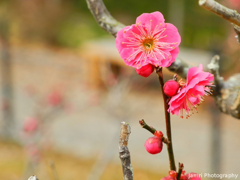 Pink Ume Standing Tall.