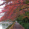 Autumn leaves are falling<br /> We arrived in Nagaokakyo just in time to see the Sakura (Cherry Blossom Trees) in their autumn glory. So after this they would be bare until their blossoming at the beggining of April. It's a long cold winter here compared with Perth, Australia. The best of autumn colour was still to come at the end of November with the Japanese maples.