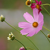The start of the cosmos season.<br /> Got my first cosmos shot for the season this year at Omi-Imazu.