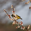 Bird in a Plum Tree 4.<br /> I'm glad I brought the 70-300VR lens on this outing, it's the only lens in my kit that's auto-focus motor can keep up with these little birds.