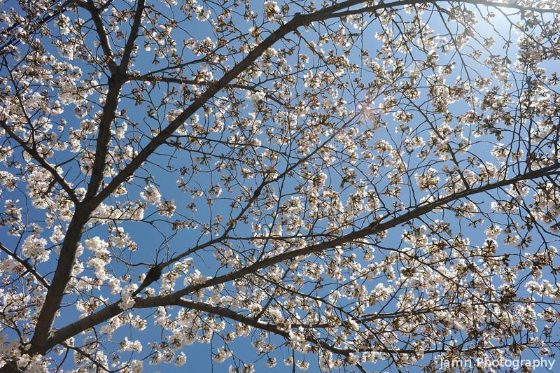 Sakura against a bright sky.
