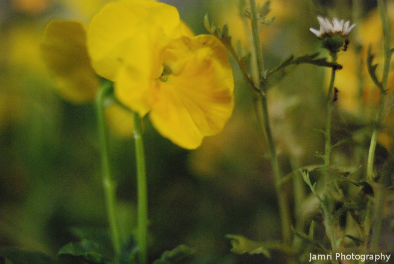 Yellow flower, by night.