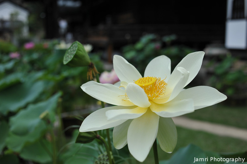 Yellow Lotus.
