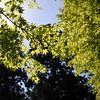 Sunlight through Fresh Maple Leaves.<br /> Note: Circular Polarising Filter Used.