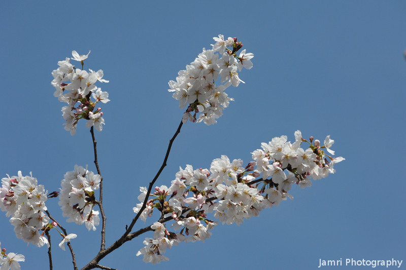 A few branches loaded with Sakura.